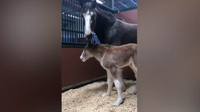 Budweiser Clydesdale breeding farm welcomes first foal of